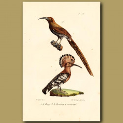 Hoopoe And Sugar Bird
