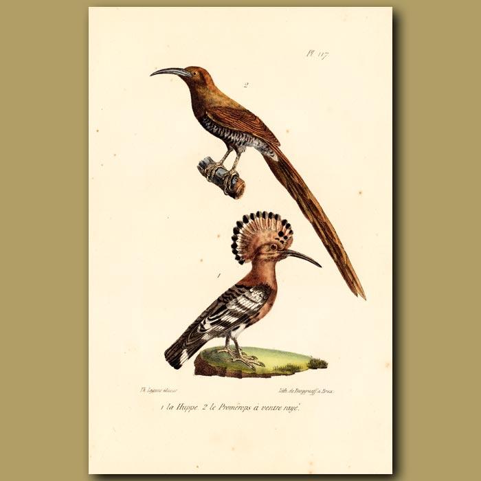 Antique print. Hoopoe and Sugar Bird