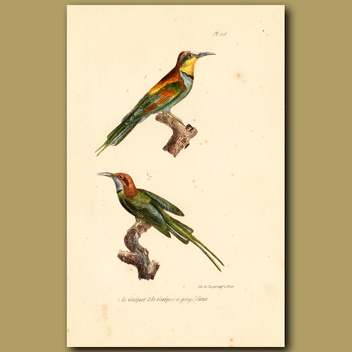 Antique print. European Bee-eater and Blue-throated Bee-eater