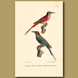 Blue-Headed Bee-Eater And Red And Blue Bee-Eater