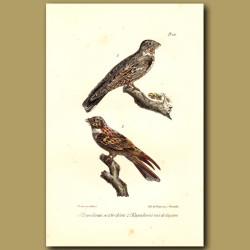 Nighthawk And Red-Winged Nightjar
