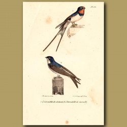 Chimney Swallow And Wall Swallow