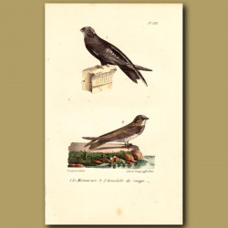 Black Swift And Shore Swallow