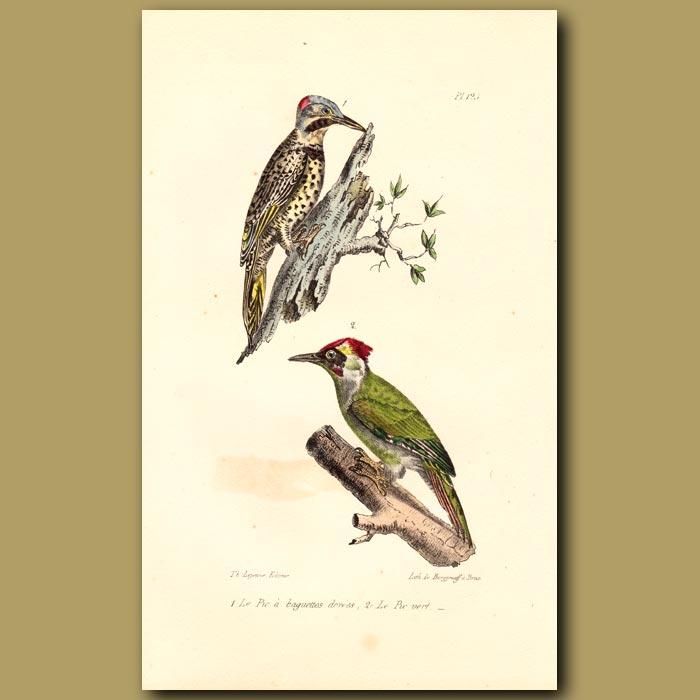 Antique print. Golden Woodpecker and Green Woodpecker