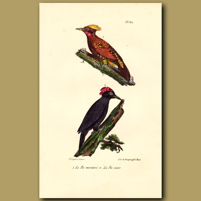 Antique print. Yellow-crested Woodpecker and Black Woodpecker
