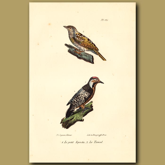 Antique print. Eurasian Wryneck and Great Spotted Woodpecker