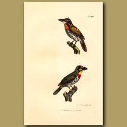 Spotted Puffbird And Crimson Breasted Barbet