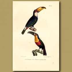 Toucan And Yellow Breasted Toucan
