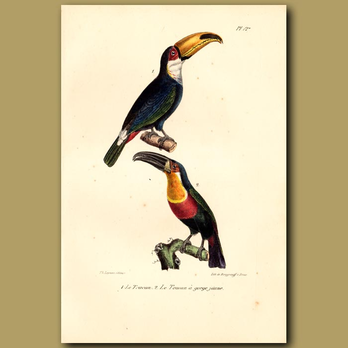 Antique print. Toucan and Yellow breasted Toucan