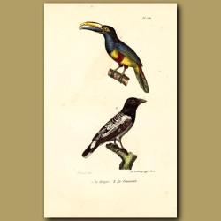 Australian Magpie And Black-Necked Toucan