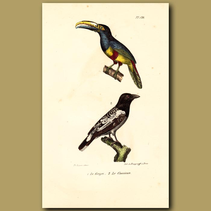 Antique print. Australian Magpie and Black-necked Toucan