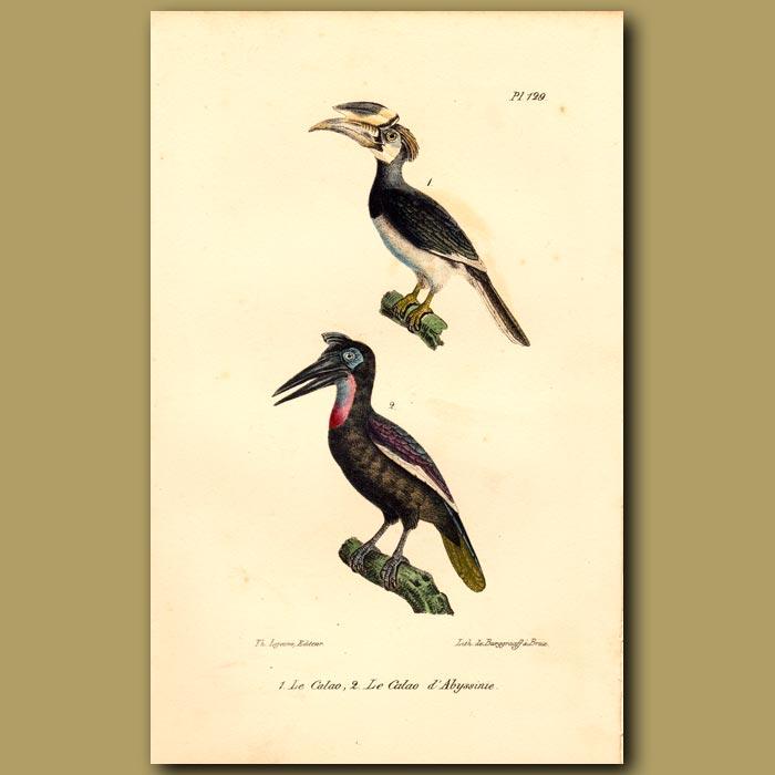 Antique print. Hornbill and Great Hornbill