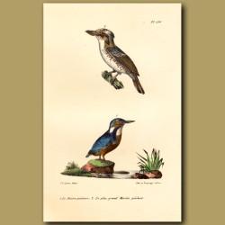 Kingfisher And Kookaburra