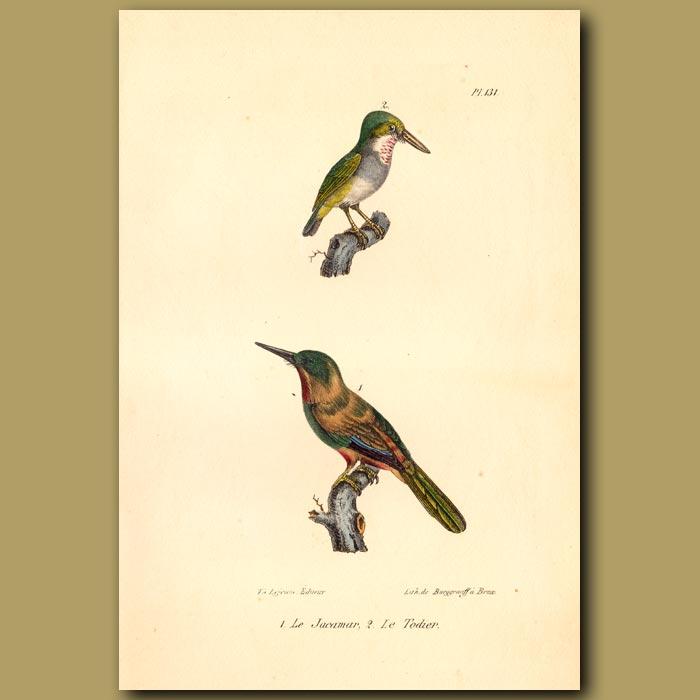 Antique print. Jacamar and African Pygmy Kingfisher
