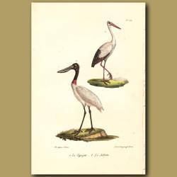 Stork And Jabiru