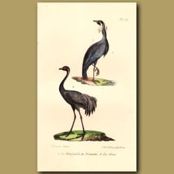 Nubian Crane And Crane