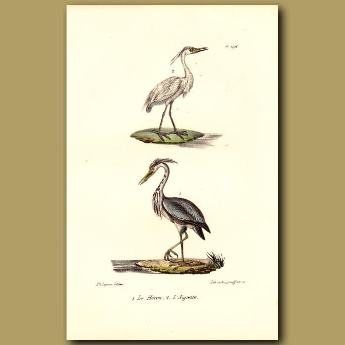 Antique print. Heron and Egret