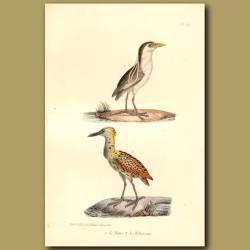 Black-Crowned Night Heron And Bittern