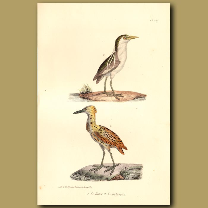 Antique print. Black-crowned Night Heron and Bittern