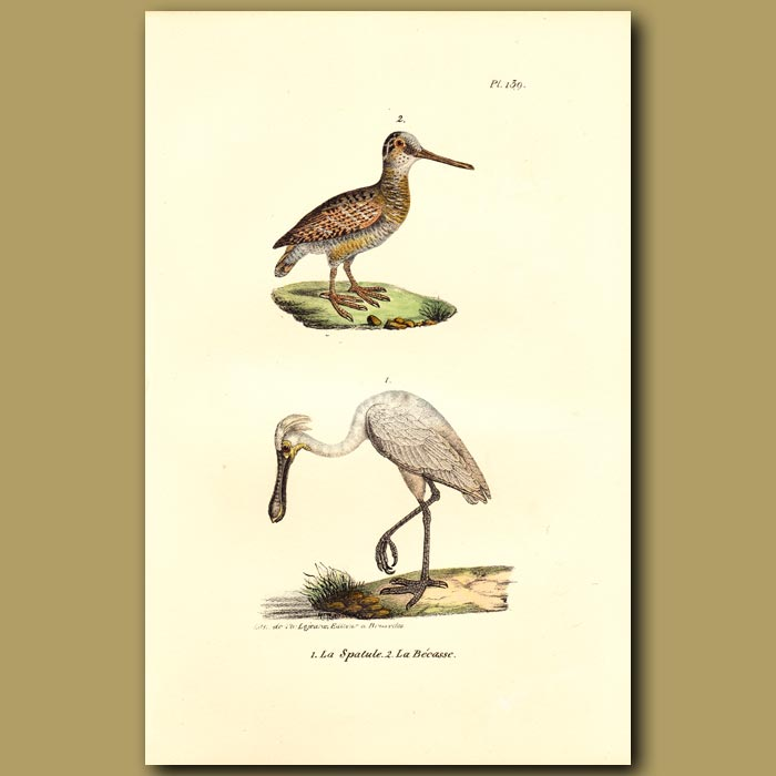 Antique print. Spoonbill and Woodcock