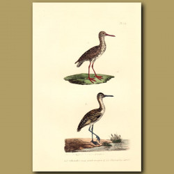 Red-Footed Sandpiper And Sandpiper