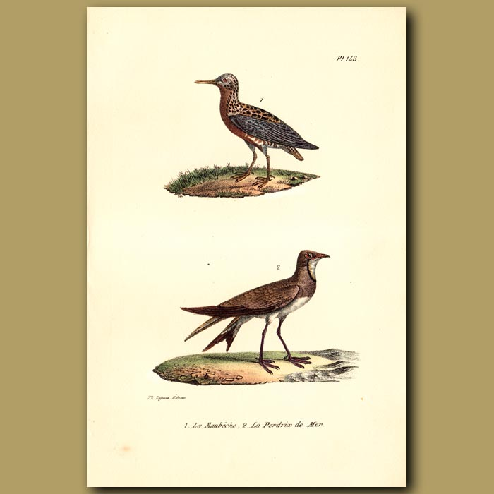 Antique print. Red Knot and Sea Partridge