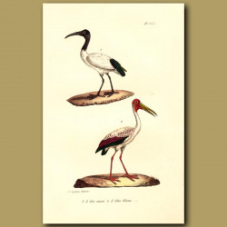 Sacred Ibis And White Ibis