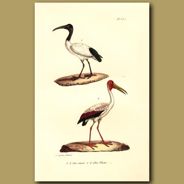 Antique print. Sacred Ibis and White Ibis