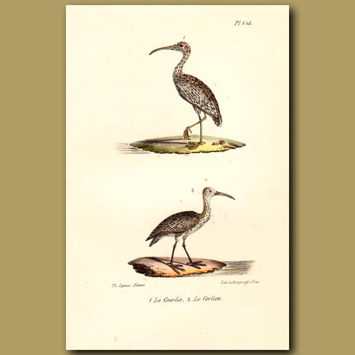 Antique print. Curlew