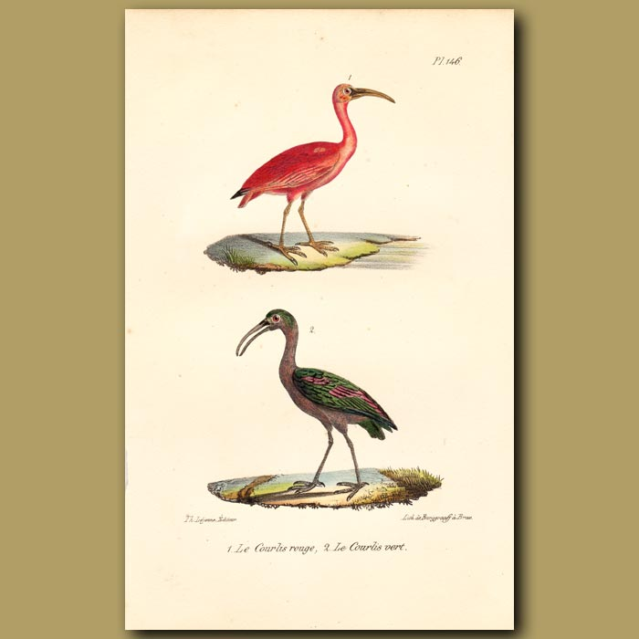 Antique print. Scarlet Ibis and Green Ibis