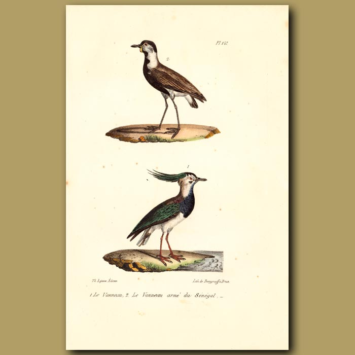 Antique print. Lapwing and Lapwing of Senegal
