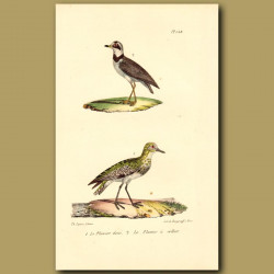 Golden Plover And Collared Plover