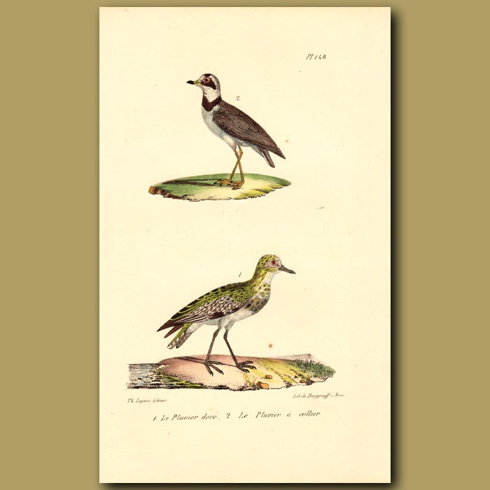 Antique print. Golden Plover and Collared Plover