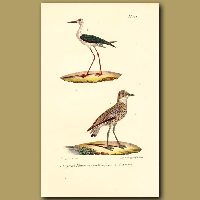 Antique print. Great Plover and Long-legged Plover