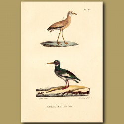 Lapwing And Pied Oystercatcher