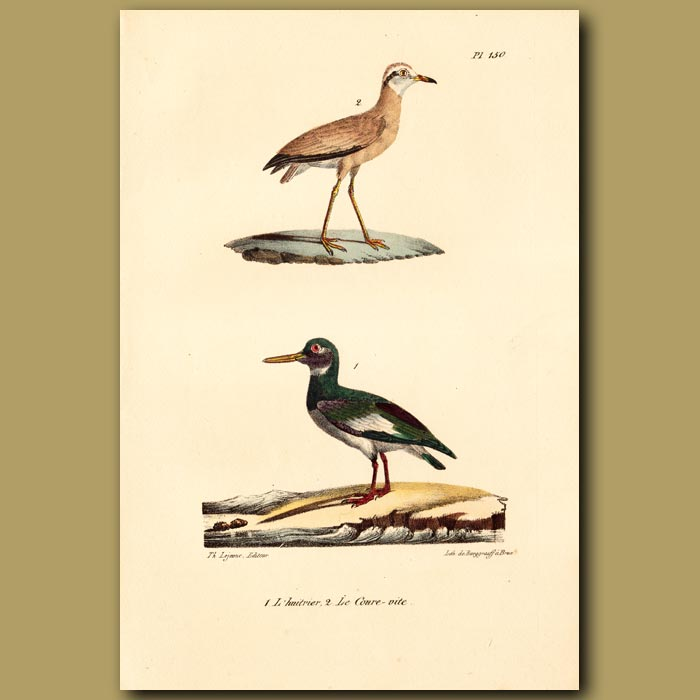 Antique print. Lapwing and Pied Oystercatcher