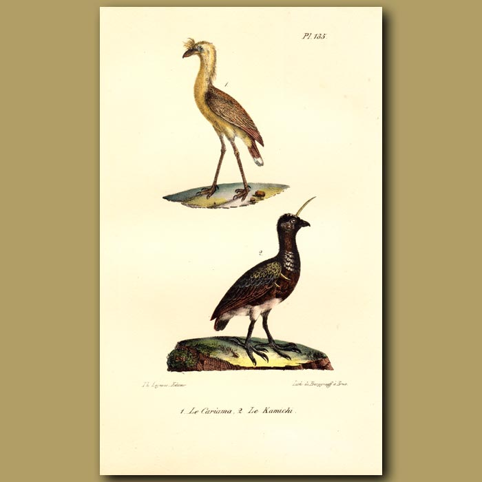 Antique print. Crested Cariama and Southern Screamer