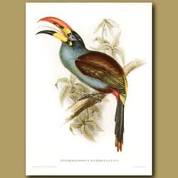 Grey Breasted Aracari Toucan (Pteroglossus Hypoglaucus)