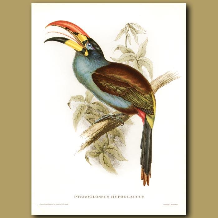 Antique print. Grey Breasted Aracari Toucan (Pteroglossus hypoglaucus)