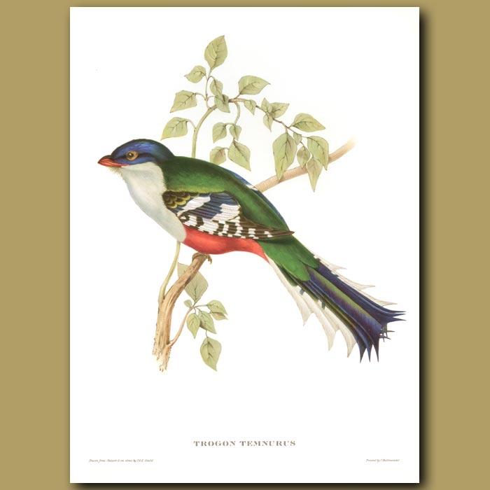 Antique print. Cuba Trogon (National Bird Of Cuba)