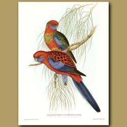 Pennant's Parrakeets (Platycercus Pennantii)