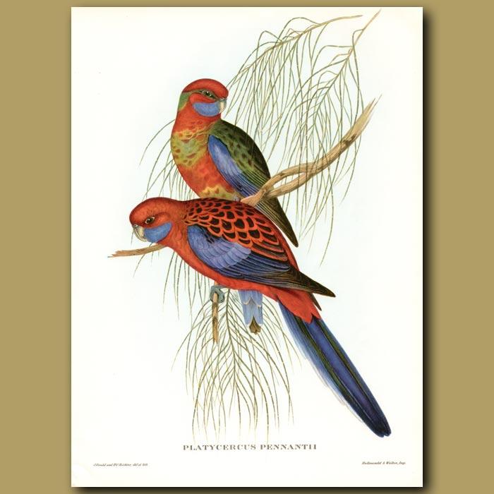 Antique print. Pennant's Parrakeets (Platycercus pennantii)