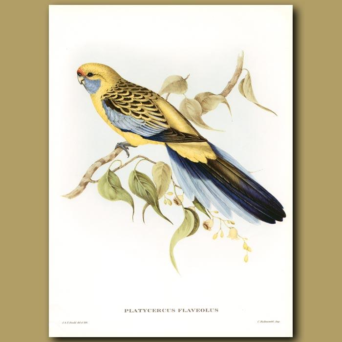 Antique print. Yellow Rumped Parrakeet  (Yellow Rosella)