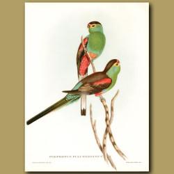 Paradise Parrot (Psephotus Pulcherrimus) Extinct.