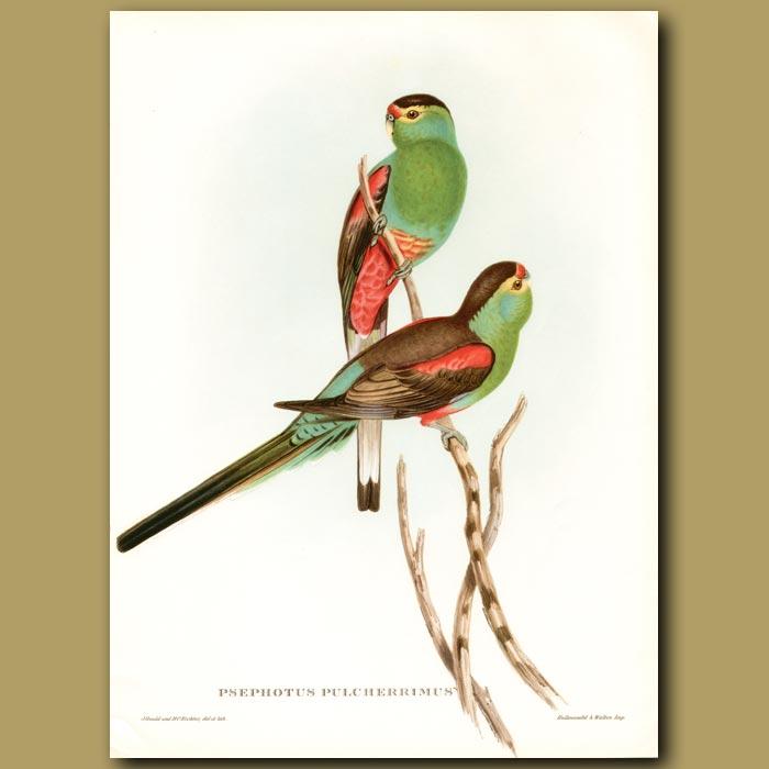 Antique print. Paradise Parrot (Psephotus pulcherrimus) Extinct.