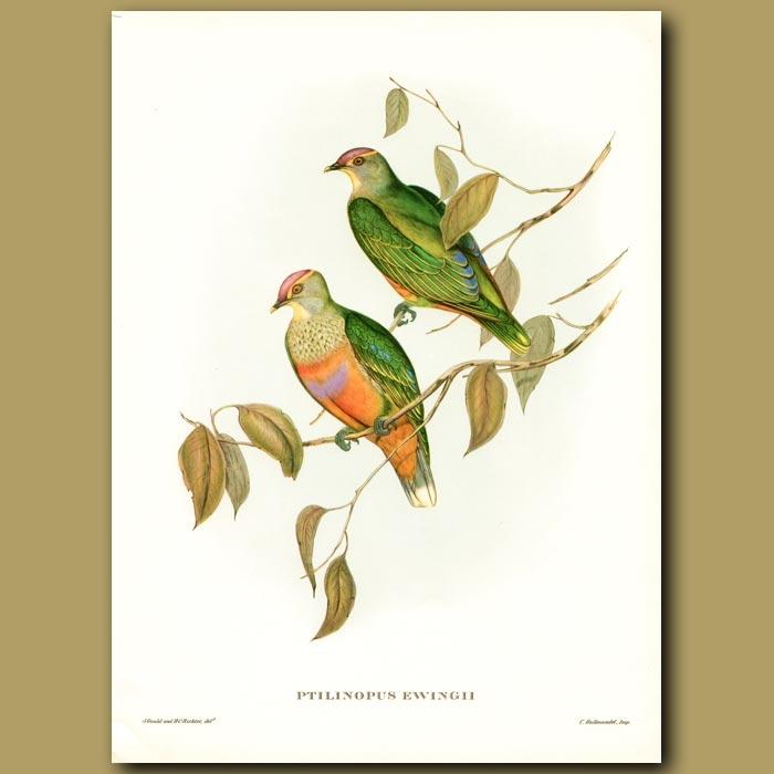 Antique print. Ewing's Fruit Pigeon