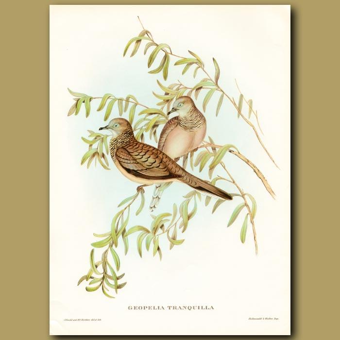 Antique print. Peaceful Dove