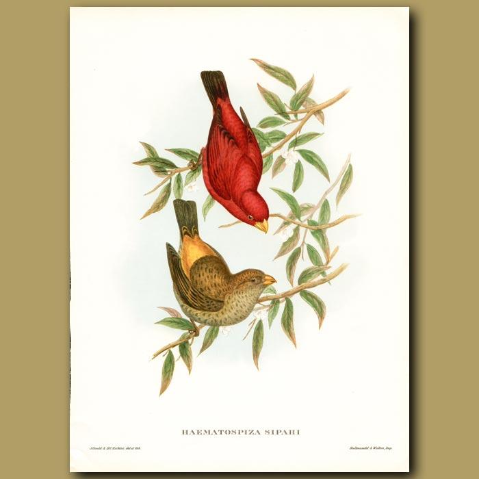 Antique print. Sepoy Finch