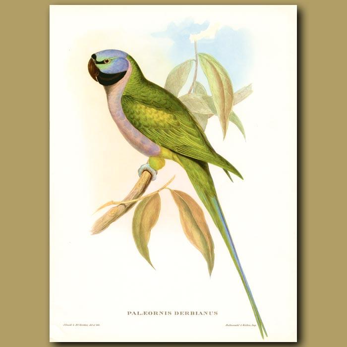 Antique print. Lord of Derby's Parakeet (Paleornus derbianus)