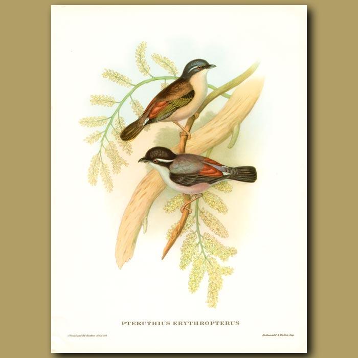 Antique print. Himalayan Pteruthius